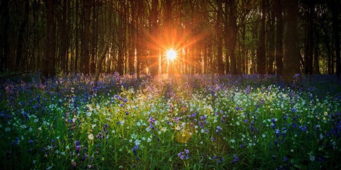flowers in a meadow with setting sun shining through trees